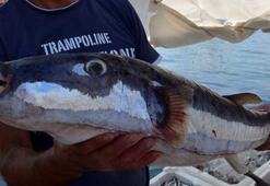 Ağlara 6 kiloluk balon balığı takıldı