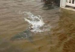 Kasırga köpekbalığını karada yüzdürdü