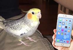 Üzüldüğünde iPhone zil sesini taklit eden papağanla tanışın