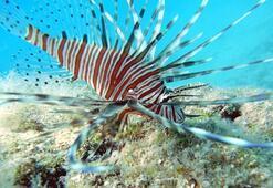 Akdenizde zehirli balık görüldü