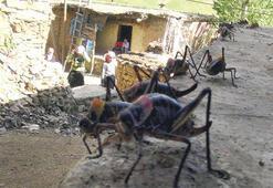 Van'da dev çekirge istilası