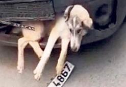 Çarptığı köpeği tamponda sürükledi
