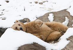 Yavru ayıya kardan beşik