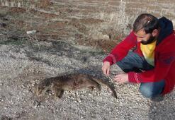 Tuncelide su samuru yol kenarında ölü bulundu
