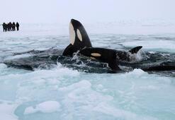 Katil balina sürüsü buzullarda sıkıştı