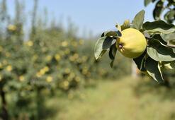 Japonlar sarı elmas yiyecek, ürünün değeri artacak