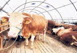 Pahalı et sorununa 'damızlık' çözümü