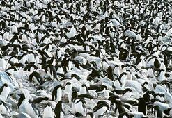 Antarktikada binlerce yavru penguen öldü