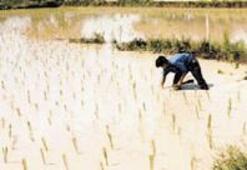 2004ün yiyeceği pirinç