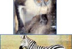 Cüce maymunlar ve ateş rengi  ibişle muhabbet
