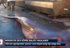 Mersin'de dev köpek balığı yakalandı