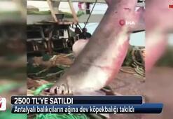 Antalyalı balıkçıların ağına dev köpekbalığı takıldı
