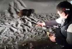 Aç kaldığı için yola inen tilkiyi bisküvi ile besledi