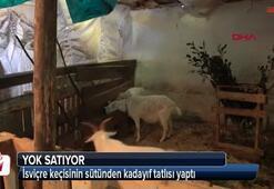 İsviçre keçisinin sütünden yaptı Yok satıyor...