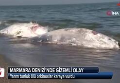 Yarım tonluk ölü orkinoslar karaya vurdu