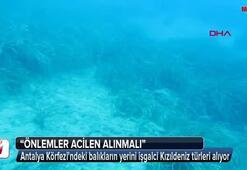 Antalya Körfezindeki balıkların yerini işgalci Kızıldeniz türleri alıyor