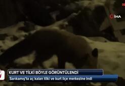 Sarıkamış'ta aç kalan tilki ve kurt ilçe merkezine indi