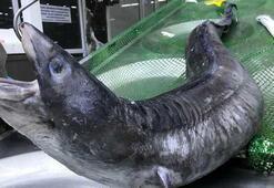 Marmara Denizinden canavar çıktı Normalden 10 kat daha büyük