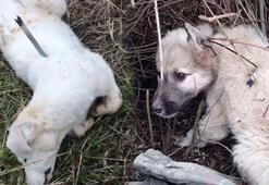 Köpekler sırtlarında iğne ile ölüme bırakıldı