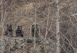 Doğu Karadenizde ayı popülasyonu arttı Bölgehalkı tedirgin…