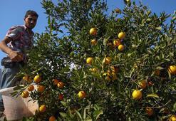 Antalyada erken portakal hasadı