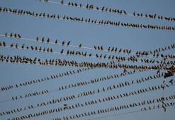 Sığırcık kuşlarından inanılmaz şov