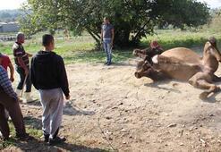 Bakıcısını öldüren deve kasaplara emanet edildi