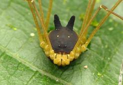 Bu garip yaratık örümcek ya da köpek değil, ama her ikisine de benziyor
