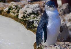 Koruma altındaki mavi penguenler çalındı