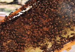 Arıcıları çam balı kurtardı
