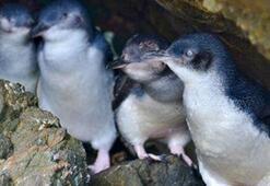 Tazmanyada 58 penguen ölüsü bulundu