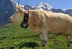 İsviçrede boynuzsuz inek referandumu