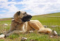 İtalyada kurt saldırılarına karşı Sivas Kangal alımı çağrısı