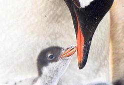 Eşcinsel penguen çift, ebeveyn oldu