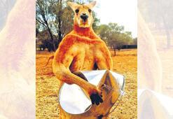Kaslı kanguru Roger öldü