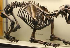 Diş fosili 20 milyon yaşındaki yırtıcıyı ortaya çıkardı