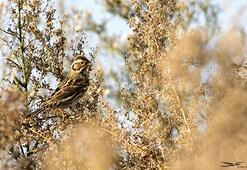 Küçük kiraz kuşu, Türkiyede 5inci kez görüldü
