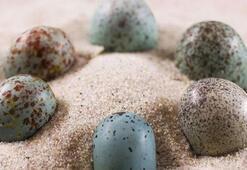 Kuş yumurtalarının renklerinde dinozor etkisi görüldü