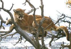Koşuya çıkan adam saldırıya uğradığı dağ aslanını elleriyle boğarak öldürdü