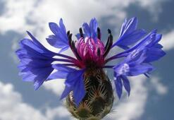 Peygamber çiçeğinin yeni bir türü daha bulundu