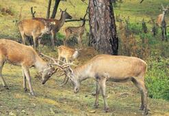 34 yılda 106 geyik