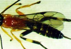 Bilim adamları örümcekleri zombiye dönüştüren yeni bir yaban arısı keşfetti