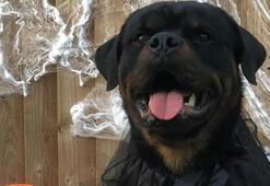 Sterling, ailesini korumak için 15 bin pounda köpek aldı