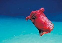 İşte başsız tavuk canavarı