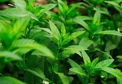 Bağırsak çalıştırıcı bitkiler nelerdir