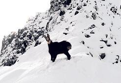Çengel boynuzlu dağ keçisi drone'la görüntülendi