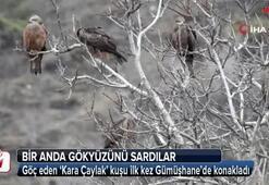 'Kara Çaylak' kuşu ilk kez Gümüşhane'de konakladı