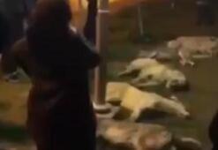 Son dakika: Ankarada korkunç olay Onlarca köpek zehirlenerek öldürüldü