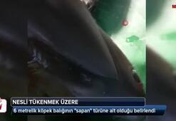 Hatay'da yakalanan köpek balığı nadir görülen tür çıktı