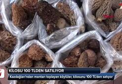 Kuzugöbeği mantarı kilosu 100 TLden satılıyor